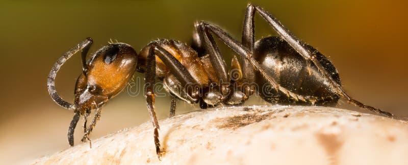 欧洲红褐林蚁,蚂蚁,蚂蚁,胶木rufa 库存照片