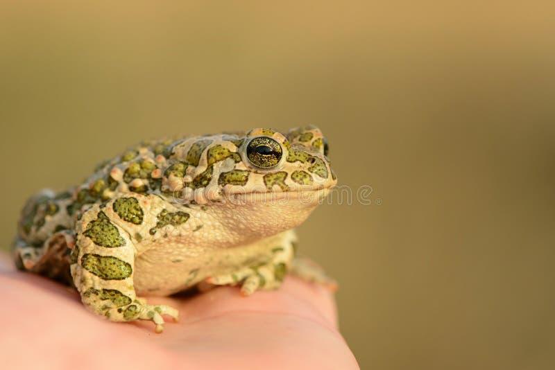 欧洲绿色蟾蜍Bufo viridis坐手 免版税库存照片