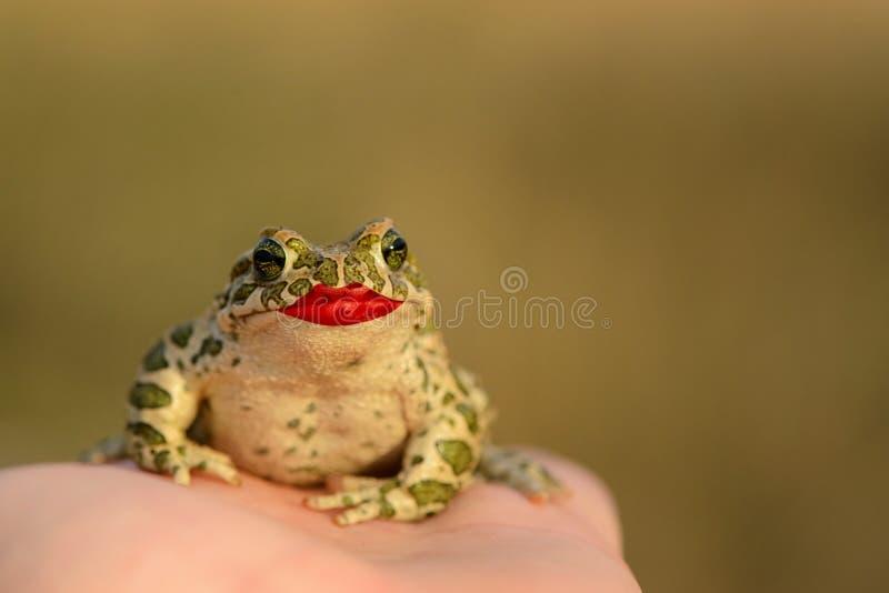 欧洲绿色蟾蜍Bufo viridis坐有被绘的嘴唇的一只手 概念亲吻妇女的爱人 库存照片