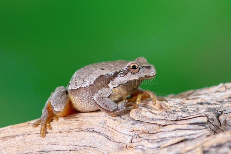 欧洲绿色雨蛙雨蛙arborea坐分支 库存图片