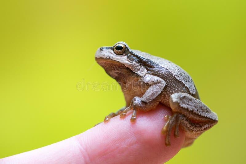 欧洲绿色雨蛙雨蛙arborea坐手指 库存照片
