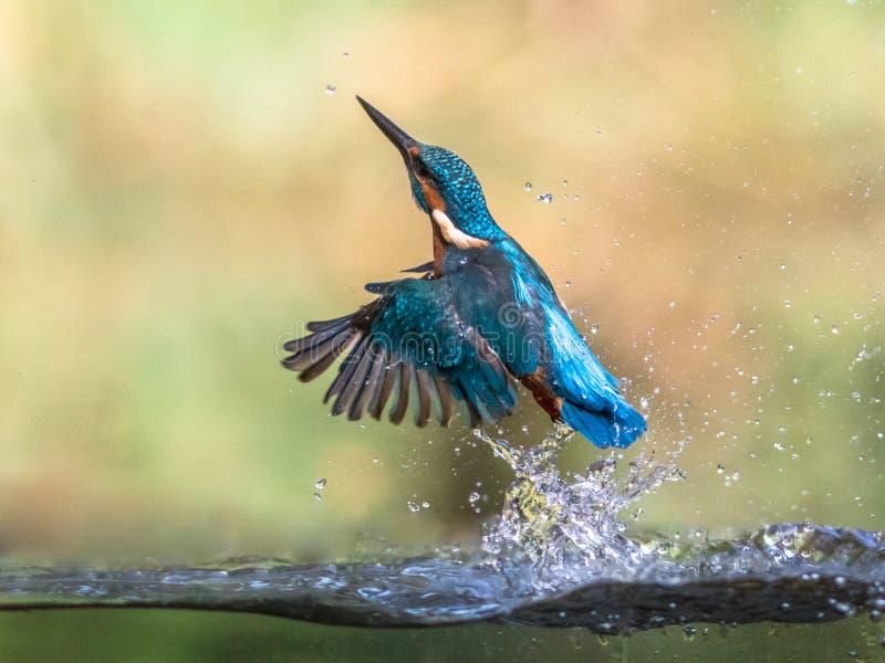 欧洲翠鸟联盟新兴摘要 图库摄影