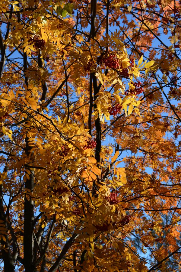 欧洲花楸在秋天 金黄叶子和红色莓果在好日子 免版税图库摄影