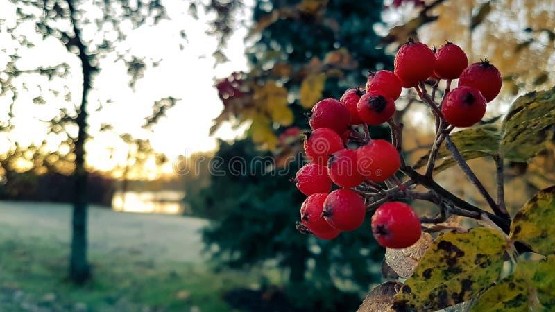 欧洲花楸用花楸浆果 免版税图库摄影