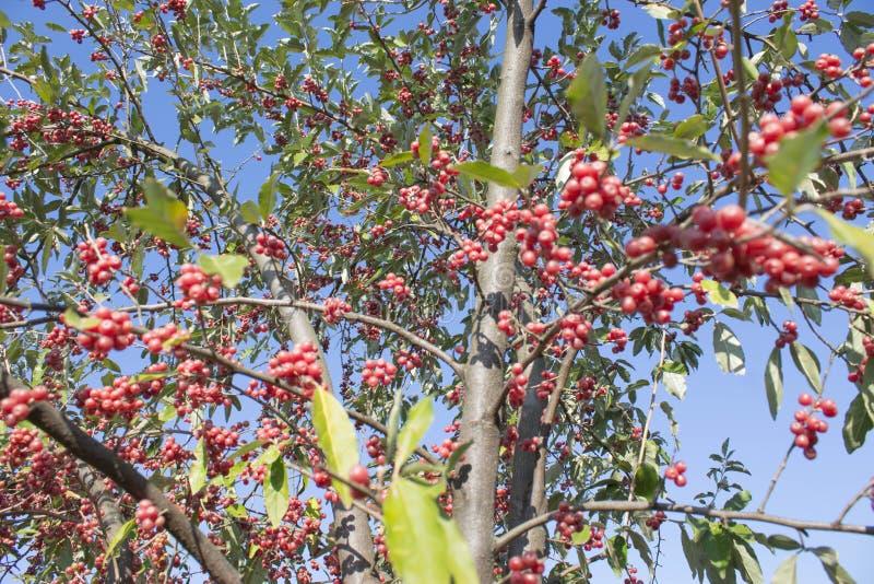 欧洲花楸的象家一样的红色莓果蓝天 免版税图库摄影