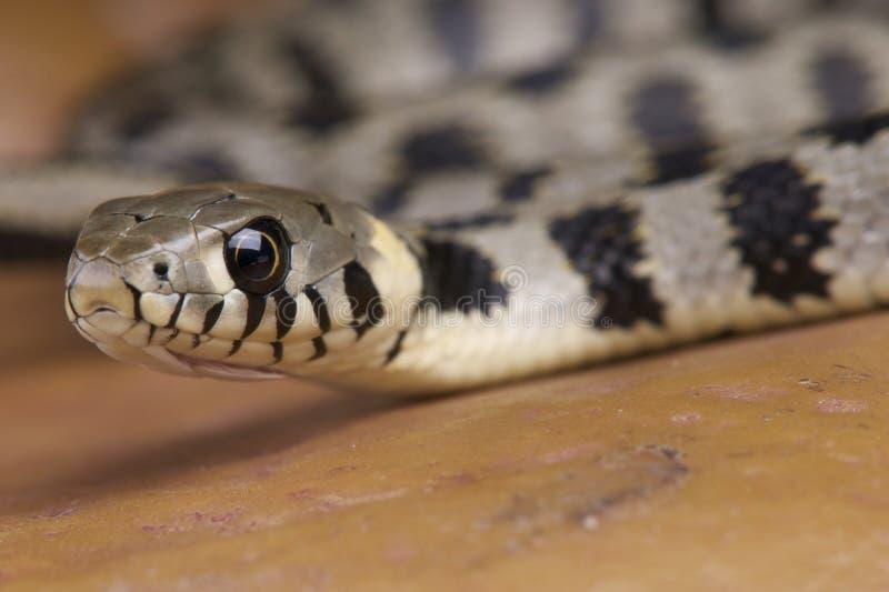 欧洲草蛇 库存图片