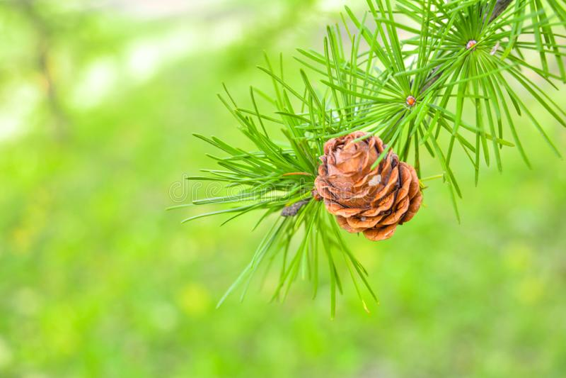 欧洲落叶松或Larix Decidua小树枝与杉木锥体在被弄脏的背景 库存照片