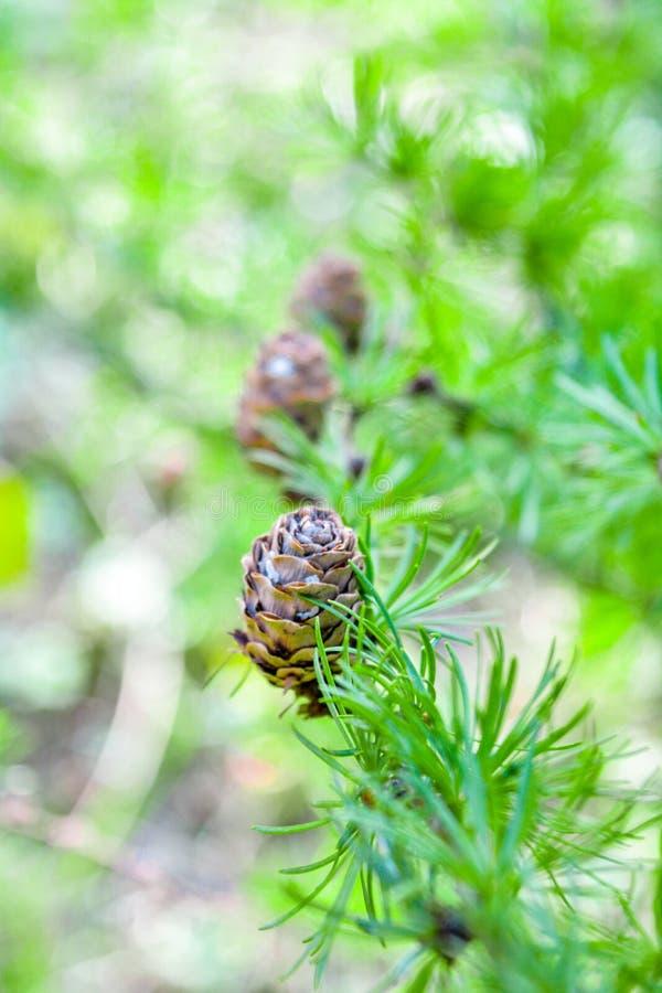 欧洲落叶松或Larix Decidua小树枝与杉木锥体在被弄脏的背景 库存图片