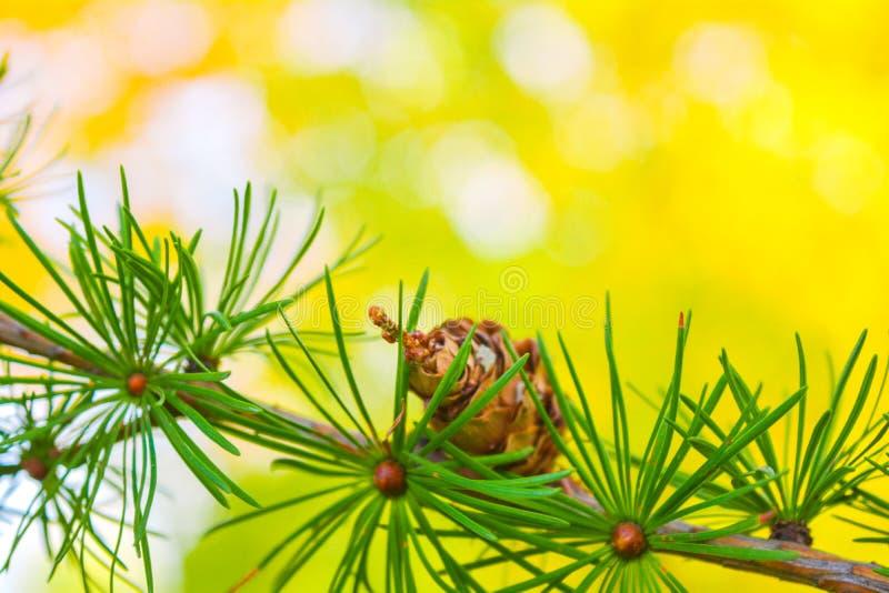 欧洲落叶松或Larix Decidua小树枝与杉木锥体在被弄脏的背景 免版税库存图片