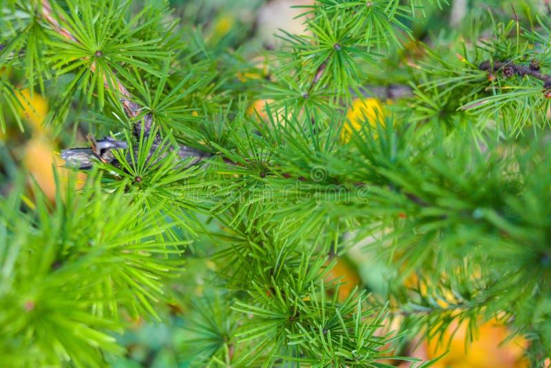 欧洲落叶松或Larix Decidua小树枝与杉木锥体在被弄脏的背景 图库摄影