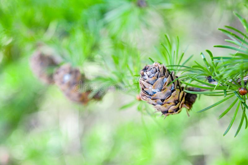欧洲落叶松或Larix Decidua小树枝与杉木锥体在被弄脏的背景 免版税库存照片