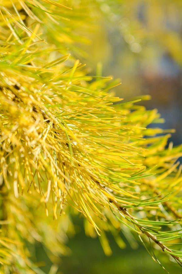 欧洲落叶松或Larix Decidua黄色小树枝在被弄脏的背景 库存照片