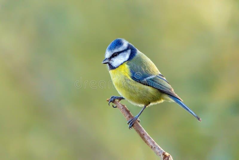 欧洲蓝冠山雀- cyanistes caeruleus休息 库存图片