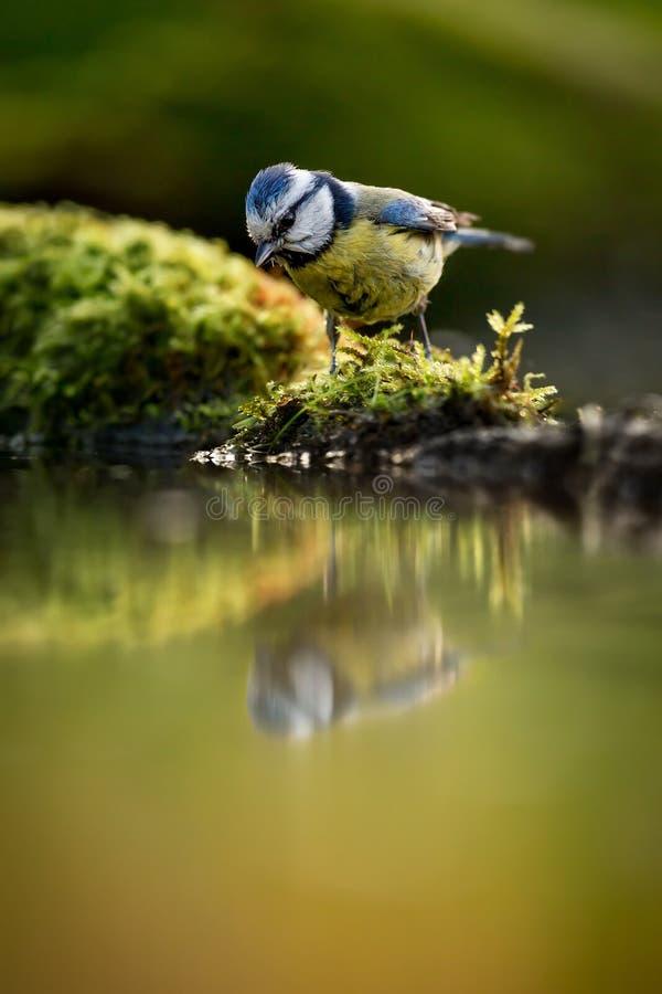 欧洲蓝冠山雀Cyanistes caeruleus饮用水 免版税库存图片