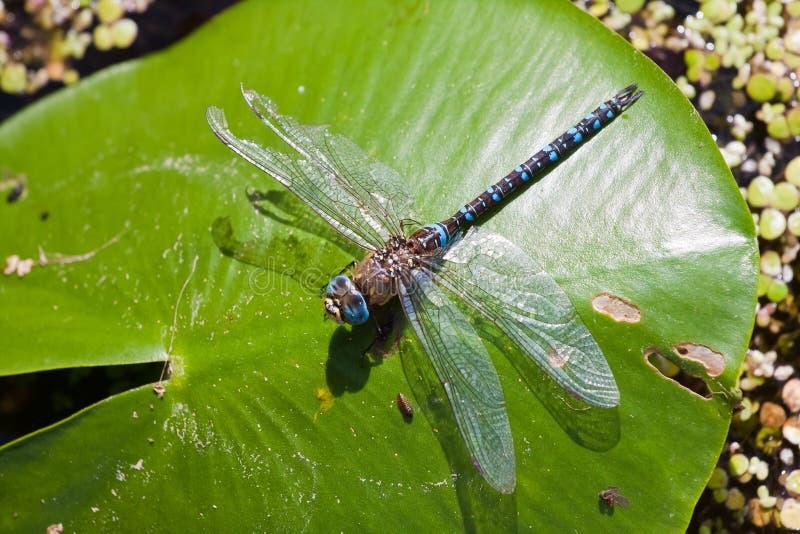 欧洲蓝色皇帝蜻蜓Anax imperator男性在明媚的阳光,动物区系宏指令照片下 免版税库存照片