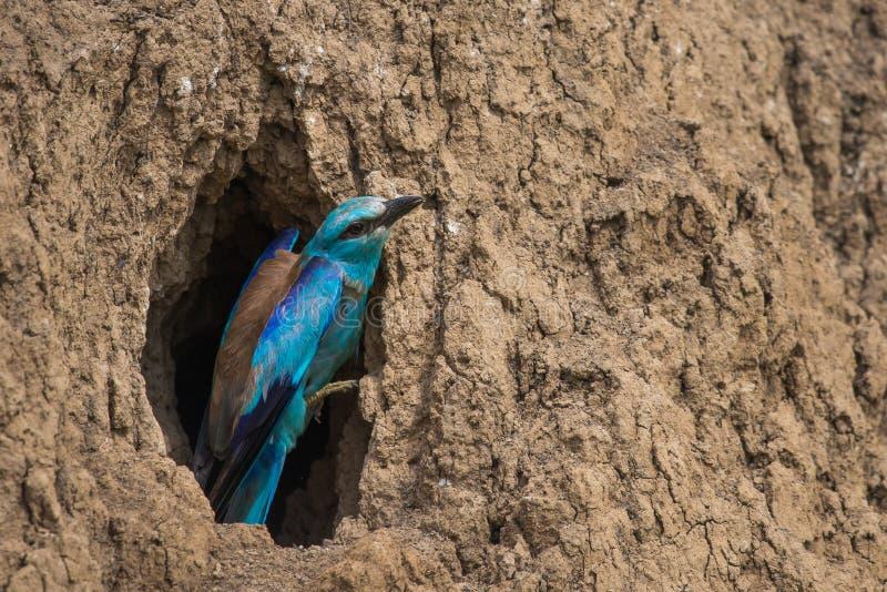 欧洲路辗或coracias garrulus准备对从巢孔的飞行 库存图片