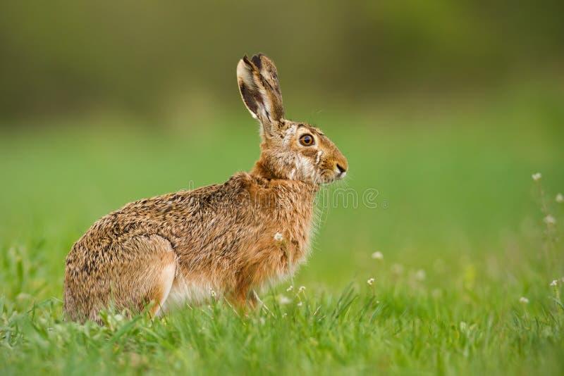 欧洲野兔在春天有新看起来的绿色被弄脏的背景 免版税库存照片