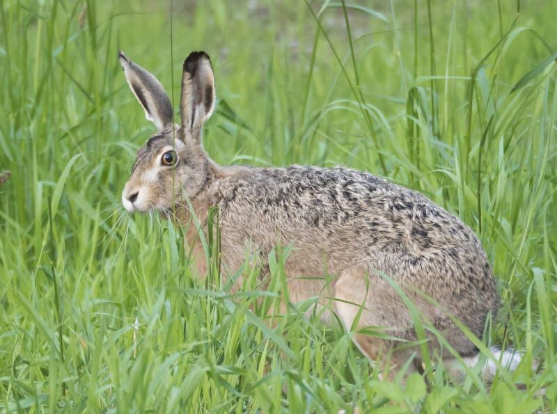 欧洲野兔天兔座europaeus,亦称坐在一个豪华的绿草草甸的棕色野兔的关闭 r 免版税库存图片