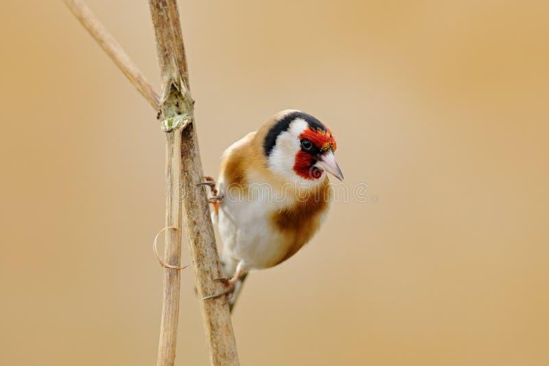 欧洲金翅雀, Carduelis carduelis,坐蓟, Sumava,捷克共和国,与绿色和黄色clea的公灰色歌手 免版税库存图片