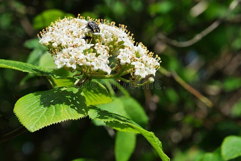 欧洲长辈白色春天花束,也告诉了Elderberry或黑长辈,拉丁名字接骨木花老黑 免版税库存图片