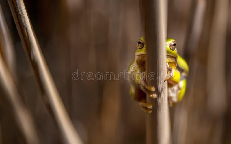 欧洲雨蛙是在欧洲、非洲的亚洲和部分找到的一只小雨蛙 库存照片