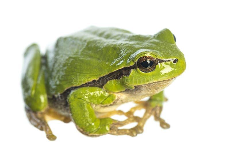 欧洲雨蛙雨蛙arborea坐白色背景 免版税库存照片