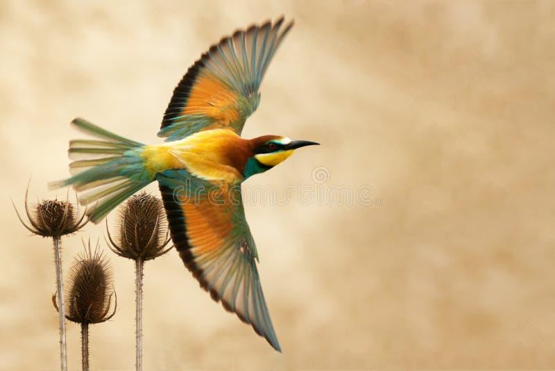 欧洲食蜂鸟在飞行中在美好的背景 免版税库存照片