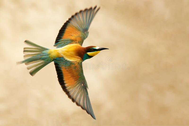 欧洲食蜂鸟在飞行中在美好的背景 库存图片