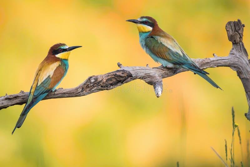 欧洲食蜂鸟,食蜂鸟属apiaster是坐在联接期间,并且炫耀在一个好的分支,有某一昆虫在它的额嘴, 免版税库存照片