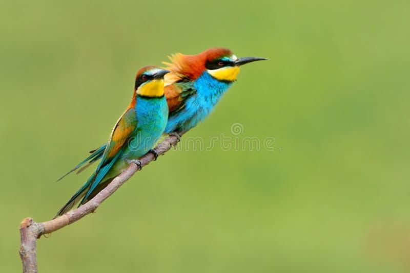 欧洲食蜂鸟-食蜂鸟属apiaster坐分支有绿色背景 免版税库存图片