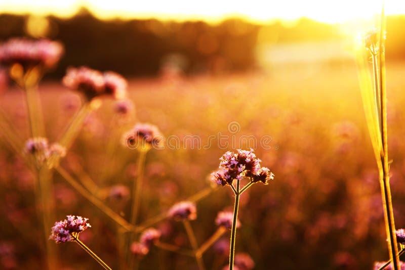 欧洲马鞭草属植物 免版税库存照片