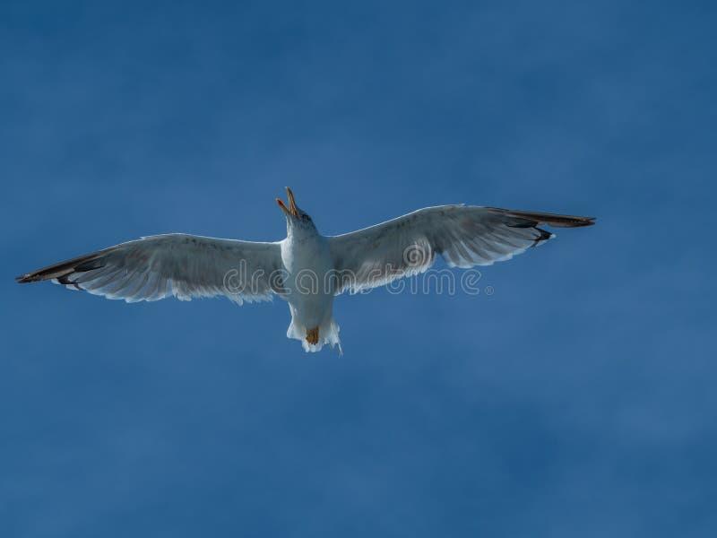 欧洲鲱鸥,鸥属argentatus 过冬在加利西亚,西班牙 免版税库存照片
