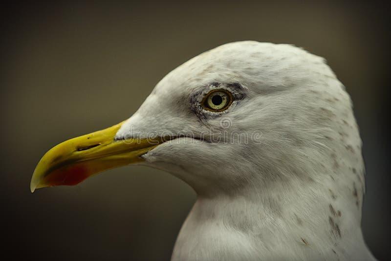 欧洲鸥鲱鱼 库存照片