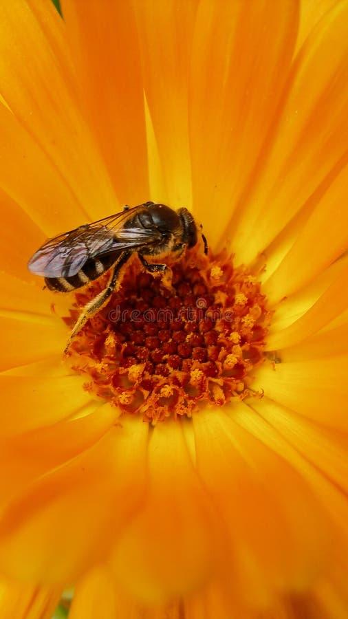 欧洲黄蜂、德国黄蜂或者德语在万寿菊里面的Yellowjacket 库存图片