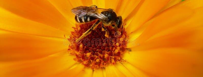 欧洲黄蜂、德国黄蜂或者德语在万寿菊里面的Yellowjacket 免版税库存照片