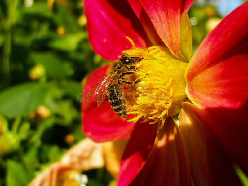 欧洲黄蜂、德国黄蜂或者德语在红色百合的Yellowjacket 库存照片