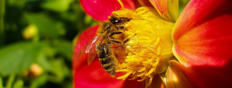 欧洲黄蜂、德国黄蜂或者德语在红色百合的Yellowjacket 免版税库存照片