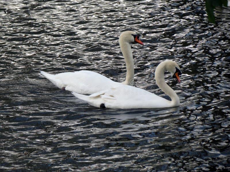 欧洲,比利时,西弗拉芒省,布鲁日,一个对在漂浮在运河的爱的美丽的天鹅 库存照片