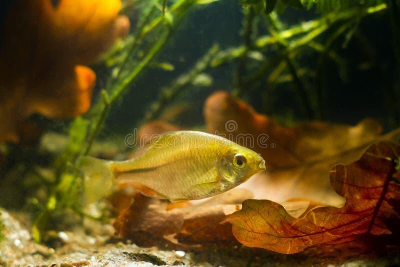 欧洲bitterling,Rhodeus amarus,普遍野生淡水鱼,罕见的宠物的少年女性 免版税库存图片