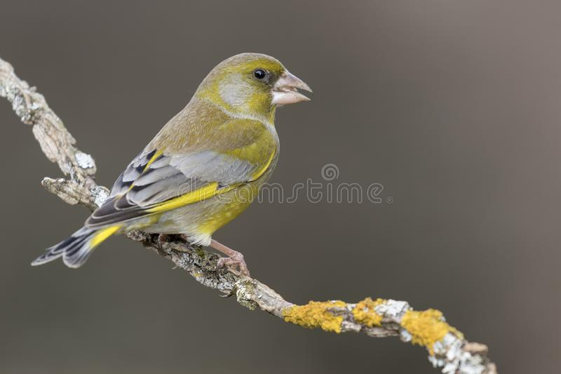欧洲greenfinch虎尾草属虎尾草属或共同的greenfinch是雀形目和家庭的等级的歌手 库存图片