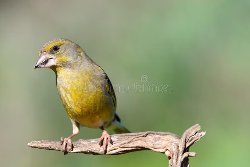 欧洲greenfinch虎尾草属虎尾草属,坐分支 库存图片