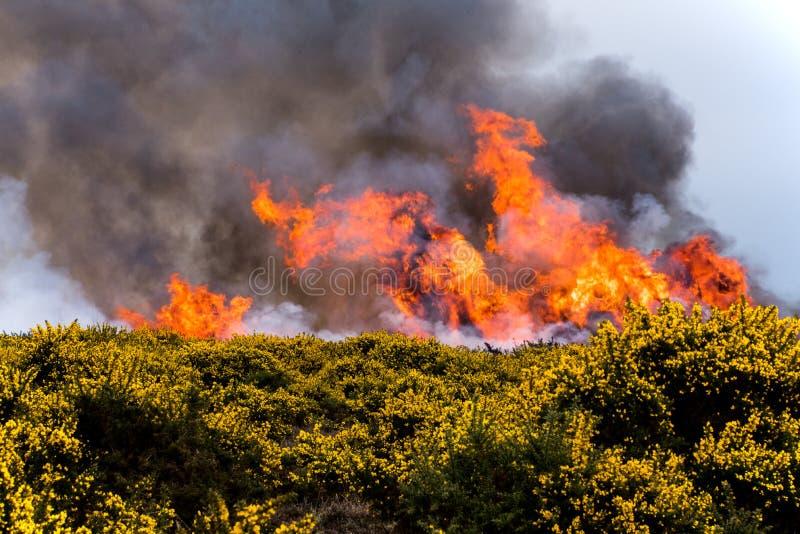 欧石南丛生的荒野火 库存图片