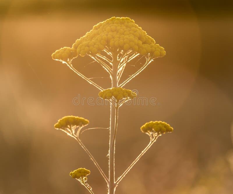 欧蓍草黄色花本质上 免版税库存照片