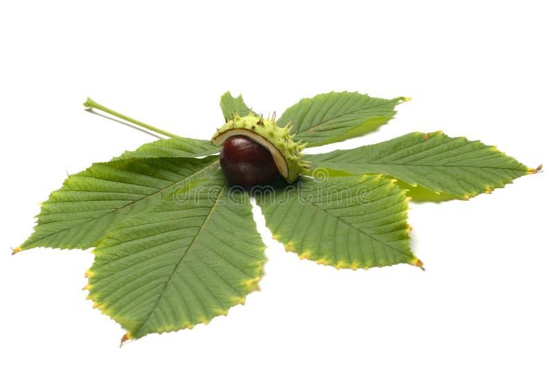 欧洲七叶树和叶子 免版税库存照片