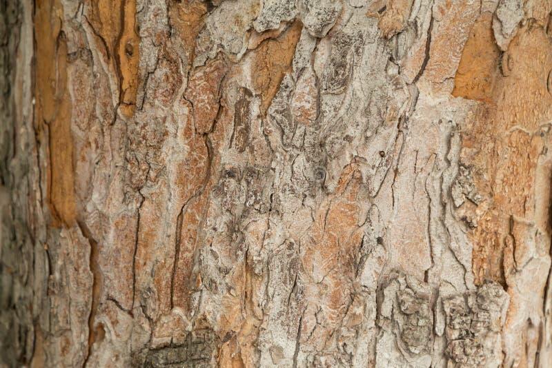 欧洲七叶树,纹理树干和吠声  库存图片