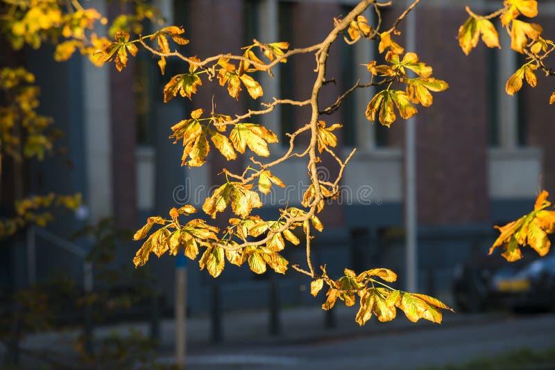 欧洲七叶树 库存图片