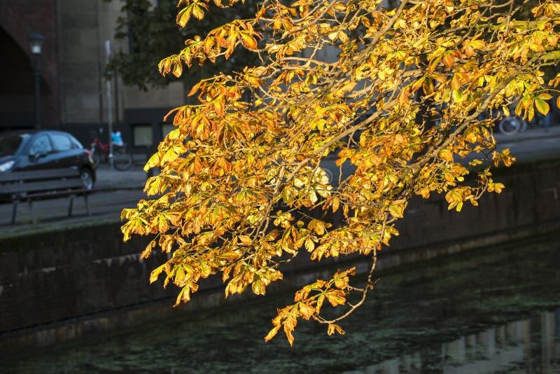 欧洲七叶树 免版税库存照片