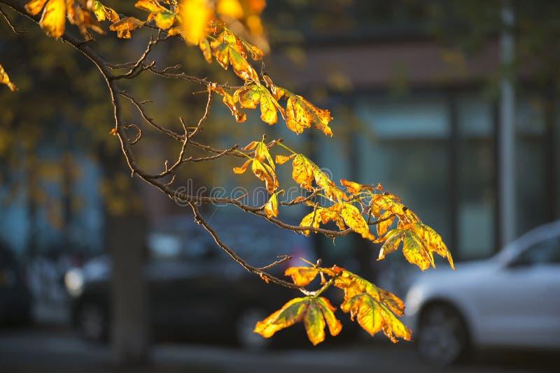 欧洲七叶树 图库摄影