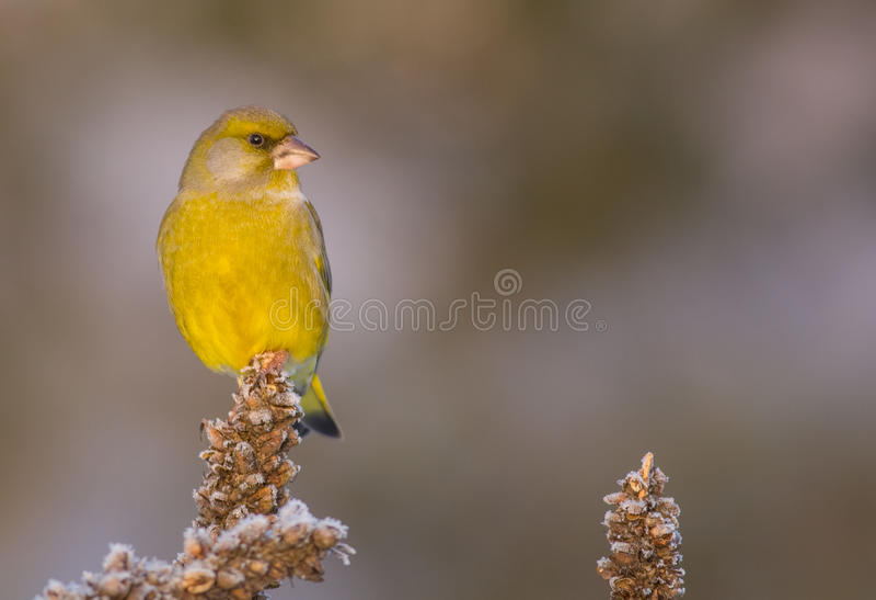 欧洲人Greenfinch - Carduelis虎尾草属 免版税库存图片