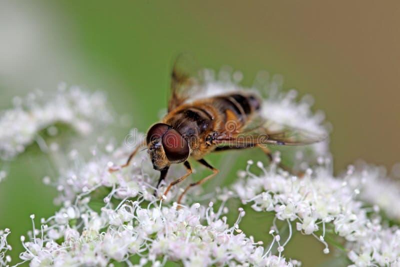 欧洲人Hoverfly Eristalis tenax 免版税图库摄影